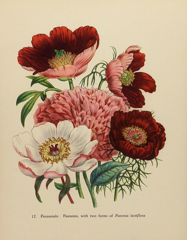 Vintage Peony Illustration Botanische prin...