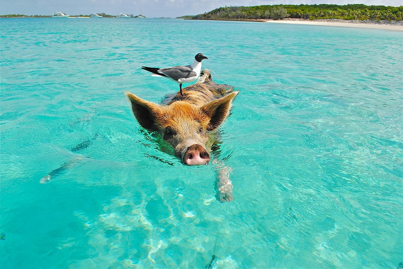 Bahamas-Swimming-Pigs
